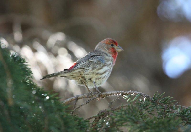 Paul's Wildlife of Colorado Photos: House Finch
